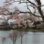 志高湖の桜